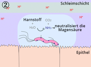 Durch Spaltung von Harnstoff durch das Enzym Urease entsteht Ammoniak, welches die Salzsäure neutralisiert und das Bakterium dadurch schützt